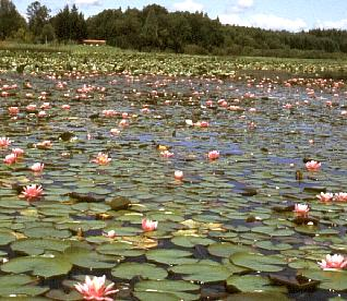 water lilies on Chambers Lake in Thurston County